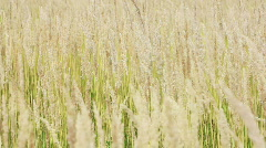 River grass closeup background Stock Footage