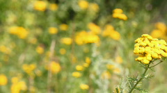 Tansy flowers on green meadow Stock Footage