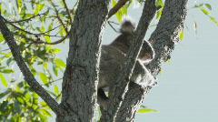 Koala Climbing Down Tree Stock Footage