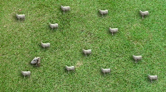 Sheep herd in field, with head - Perfect for backgrounds - Nature - Agriculture  Stock Footage
