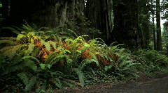 Ferns and Redwoods in Redwood National Park, California - stock footage