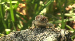 Stock Video Footage of Comical Spiny Lizard