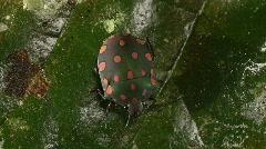 Brightly coloured hemipteran bug on a leaf Stock Footage