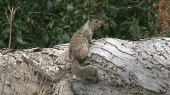 California Ground Squirrel On Log Stock Footage