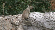 Stock Video Footage of California Ground Squirrel On Log