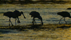 Wader Birds at Sunset - Spoonbills Feeding at Dusk Stock Footage