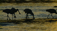 Wader Birds at Sunset - Spoonbills Feeding at Dusk Stock Footage