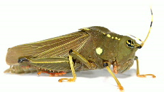A dumpy Amazonian grasshopper  Stock Footage