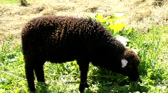 Frightened sheep Stock Footage