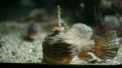 Two Scorpion Fish Stock Footage