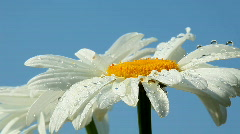 Camomile flower with dew Stock Footage