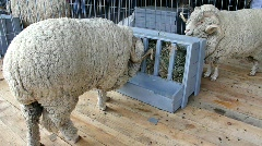 White sheep Stock Footage