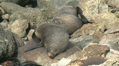 Seals, New-Zealand Stock Footage