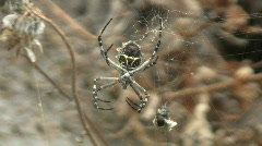 Silver Garden Spider (Argiope argentata) With Spun Prey Dangling From Web Stock Footage