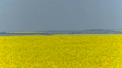 Agriculture, canola field, locked off long shot, light breeze Stock Footage