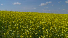 agriculture, canola field, pan with nice sky - stock footage