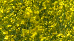 Agriculture, canola field, tight on blooms, breezy day Stock Footage