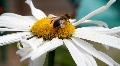 Bumble Bee Closeup Footage