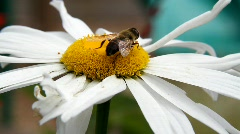 Bumble Bee Closeup Stock Footage