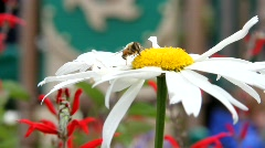 Bumble Bee on Flower Stock Footage