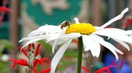 Stock Video Footage of Bumble Bee on Flower