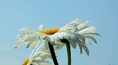Flower with dew Stock Footage