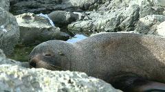 Seal sleeping, New-Zealand Stock Footage