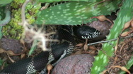 King Snake Slithers Stock Footage