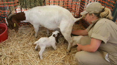 mother goat, kids - stock footage