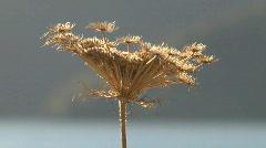 Flower, new-zealand Stock Footage