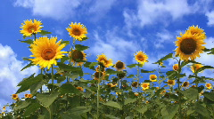 Sunflower Field Loop Stock Footage
