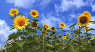 Sunflower Field Loop Stock Footage