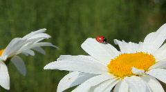 Ladybird Stock Footage