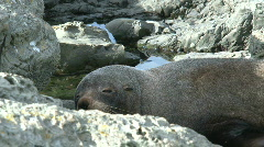 Seal sleeping, New-Zealand Stock Footage