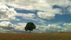 Tree in Wheat field, JVC GY-HM100E  Stock Footage