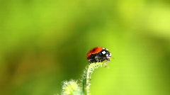 ladybug on grass  - stock footage