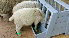 White sheeps Stock Footage