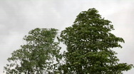 Stock Video Footage of trees in strong wind under storm sky