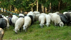 Flock of sheeps Stock Footage