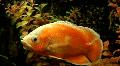 Aquarian fish HD Footage