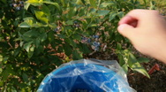 Picking blueberries HD POV Stock Footage