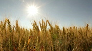 Sun over ripe wheat field Stock Footage