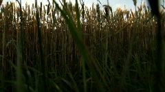 Huge wheatfield bottom to top Stock Footage