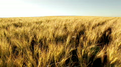 Crane shot over huge dry wheat field Stock Footage