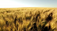 Stock Video Footage of crane shot over huge dry wheat field