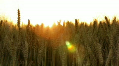 Wheat field close against sun Stock Footage
