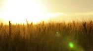 Huge wheatfield in summer sunset Stock Footage