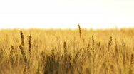 Wheat ears in wind close Stock Footage