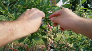 Stock Video Footage of Picking blueberries HD POV