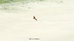 Eagle Soaring Over Sandy Beach - Brahminy Kite, Bald Sea Hawk - stock footage